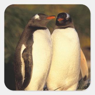 Falklands Islands. Gentoo Penguins.  (Pyroscelis Square Stickers