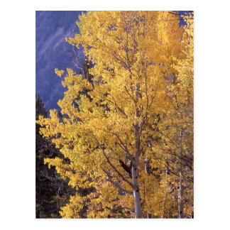 Fall aspen tree Postcard