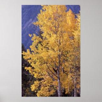 Fall aspen tree poster print print