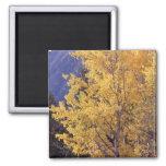 Fall aspen tree refrigerator magnet