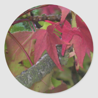 Fall Begins - Maple Leaves are Turning Red Classic Round Sticker
