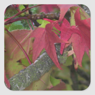 Fall Begins - Maple Leaves are Turning Red Square Sticker