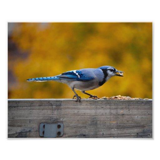 Fall Blue Jay Photograph