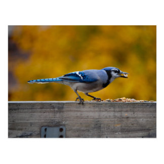 Fall Blue Jay Postcards