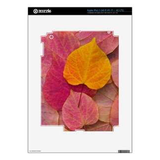 Fall color on Forest Pansy Redbud fallen iPad 3 Decal