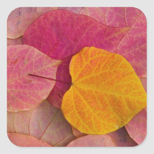 Fall color on Forest Pansy Redbud fallen Square Stickers