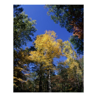 Fall Colors - Golden Tree Poster