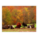 Fall Cows Post Cards