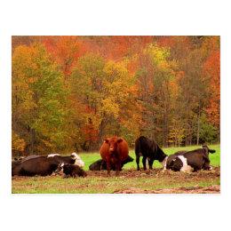 Fall Cows Postcard