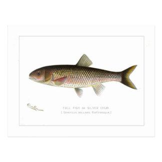 Fall Fish or Silver Chub Postcard