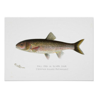 Fall Fish or Silver Chub Poster