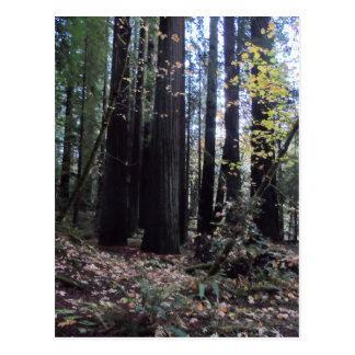 Fall in the Redwoods Postcard