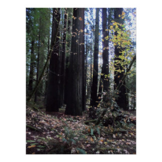 Fall in the Redwoods Poster