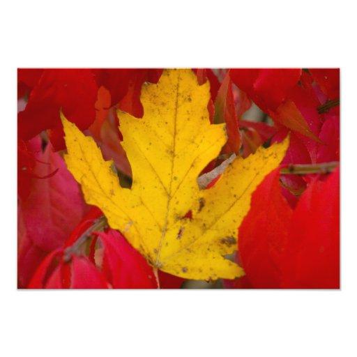 Fall leaf amidst a burning bush photographic print