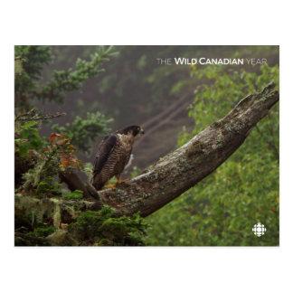 Fall - Peregrine Falcon Postcard