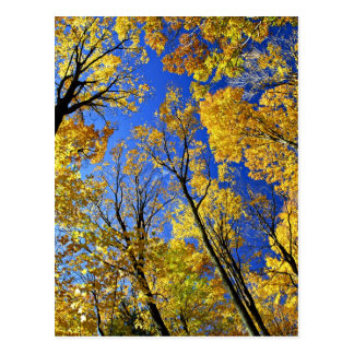 Fall yellow maple trees canopy post card