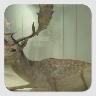 Fallow deer (Dama dama) Square Sticker