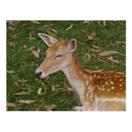 Fallow Deer Postcard