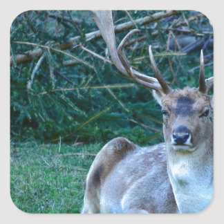 Fallow Deer - United Kingdom Square Sticker