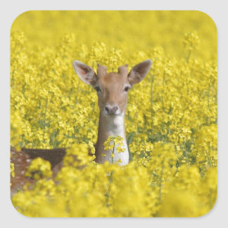 Fallow in yellow square sticker