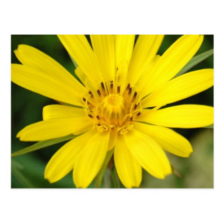 False Sunflower Postcard