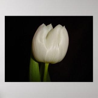 Familia blanca del tulipán: Liliaceae, especie: Li Impresiones
