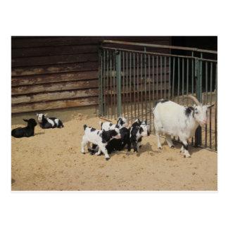 Familia de cabra tarjetas postales