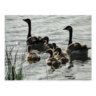 Familia de gansos en el lago postal