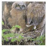 Familia de grandes Owlets de cuernos (virginianus  Azulejos Cerámicos