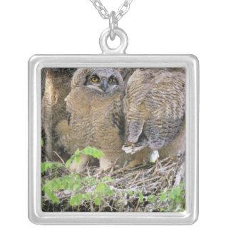 Familia de grandes Owlets de cuernos (virginianus Collar Plateado