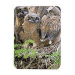 Familia de grandes Owlets de cuernos (virginianus  Iman Flexible