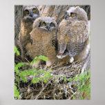 Familia de grandes Owlets de cuernos (virginianus  Posters