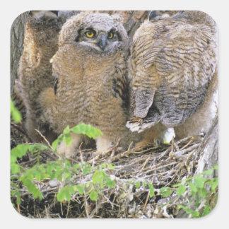 Familia de grandes Owlets de cuernos (virginianus Pegatina Cuadrada