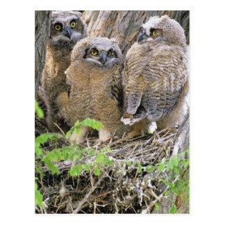 Familia de grandes Owlets de cuernos (virginianus Tarjetas Postales