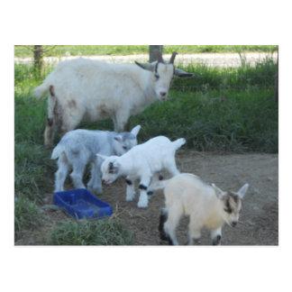 Familia de la cabra del bebé tarjeta postal