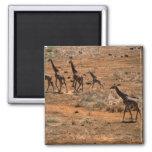 Familia de la jirafa iman