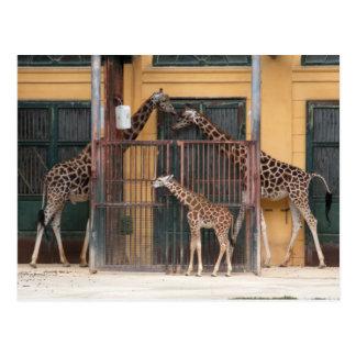 Familia de la jirafa postales