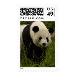 Familia de la panda gigante (melanoleuca del Ailur