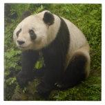 Familia de la panda gigante (melanoleuca del Ailur Azulejo Cuadrado Grande