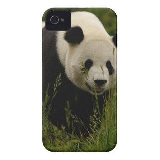 Familia de la panda gigante (melanoleuca del Ailur Case-Mate iPhone 4 Protectores