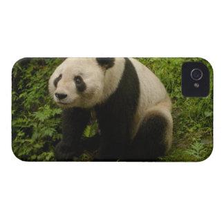 Familia de la panda gigante (melanoleuca del Ailur iPhone 4 Case-Mate Carcasa