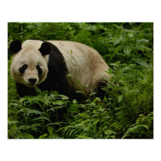 Familia de la panda gigante (melanoleuca del Ailur Posters