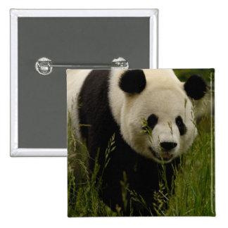 Familia de la panda gigante (melanoleuca del Ailur Pin Cuadrada 5 Cm