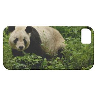 Familia de la panda gigante (melanoleuca del iPhone 5 carcasa