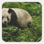 Familia de la panda gigante (melanoleuca del pegatina cuadrada