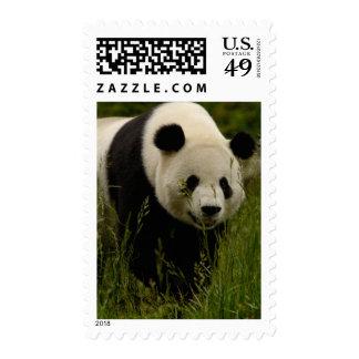 Familia de la panda gigante (melanoleuca del sello