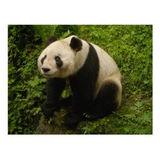 Familia de la panda gigante (melanoleuca del tarjetas postales
