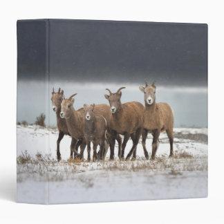 Familia de las ovejas de montaña