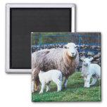 Familia de las ovejas iman