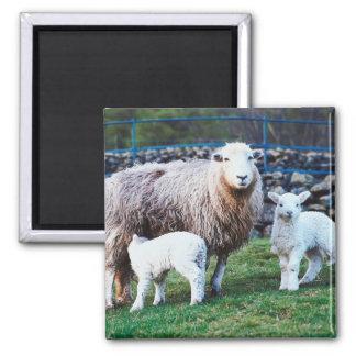 Familia de las ovejas imán cuadrado